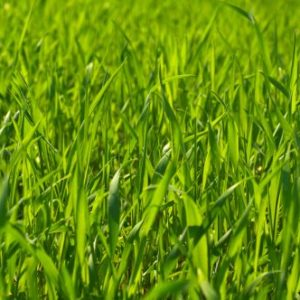 Pasture Annual Ryegrass Seed