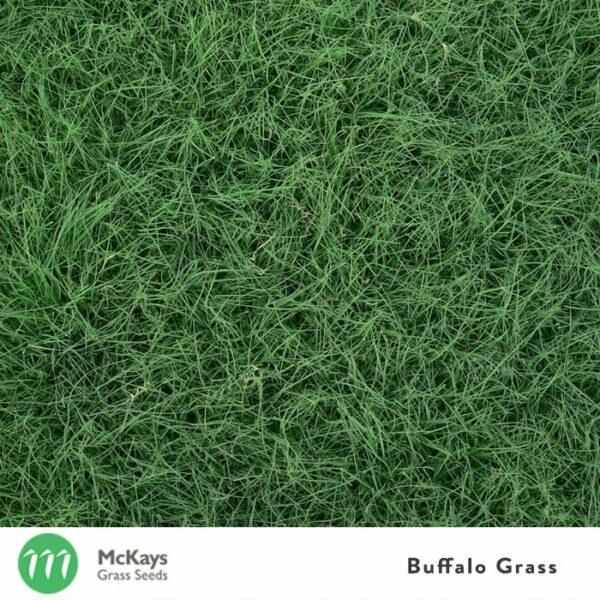 Buffalo Lawn Seed Blend