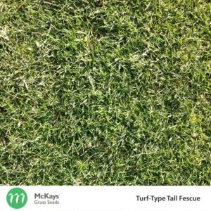 Turf-Type Fescue Grass Seed