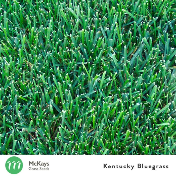 Kentucky Bluegrass seed