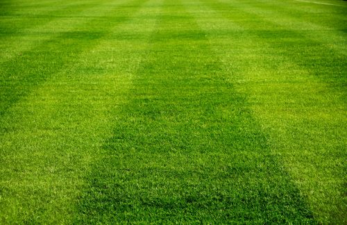 Sports Turf Perennial Ryegrass Seed