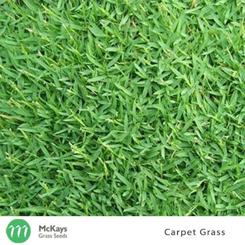 Carpet Grass Seed