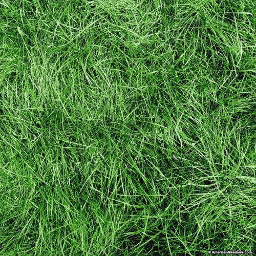 Chewings Fescue Seed